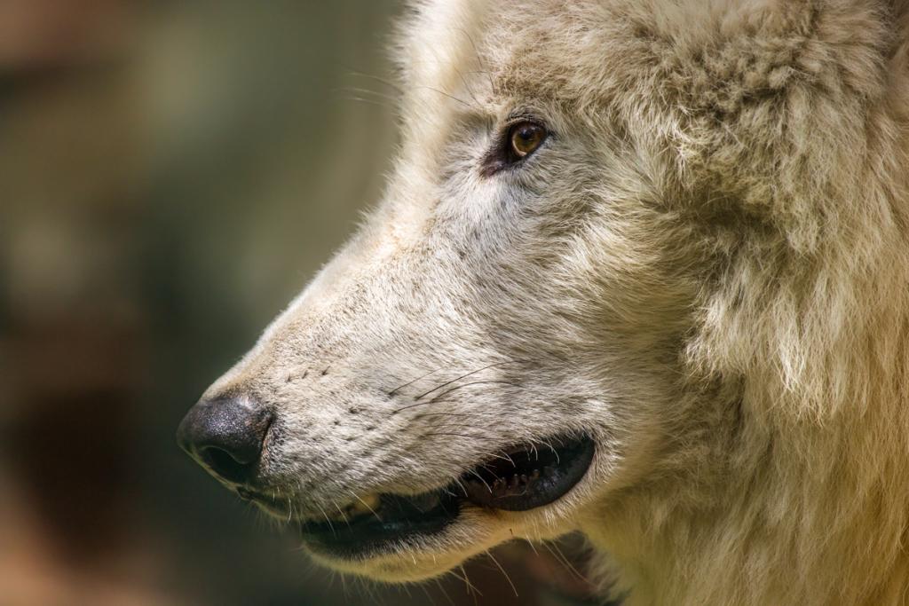Polarwolf im Tierpark Petersberg