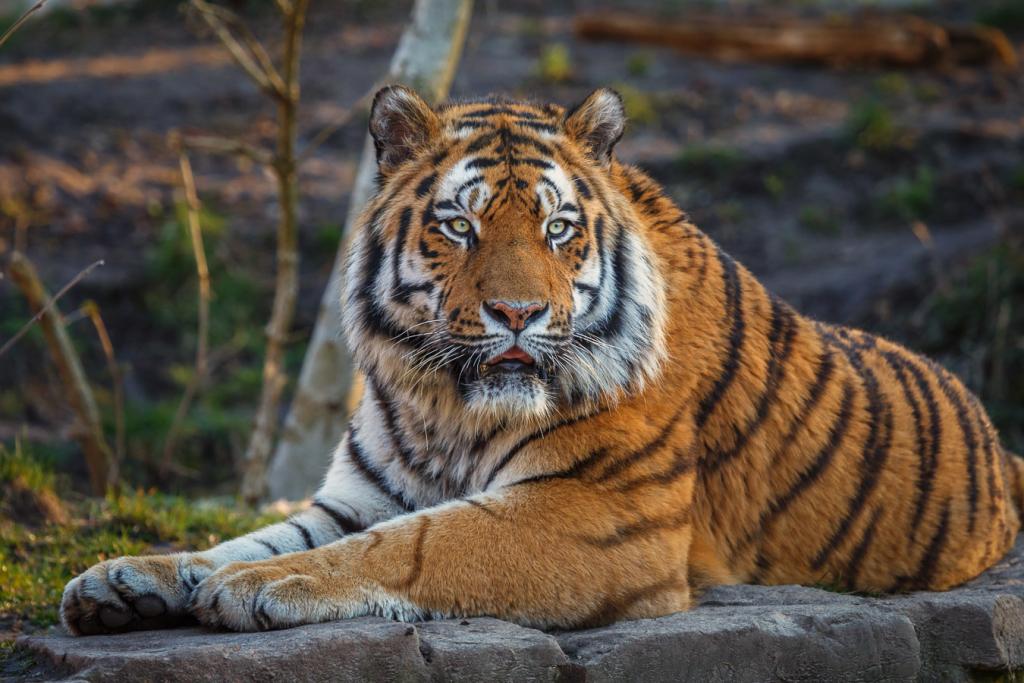 Sibirische Tiger im Zoo Aschersleben